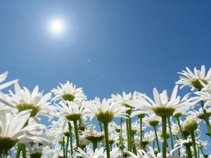 uploads-daisies-207221